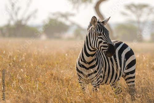Zebra in Serengeti National Park