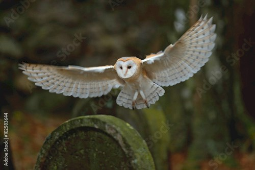Barn owl with nice wings landing on headstone