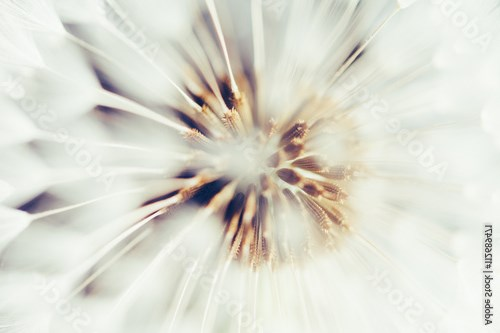 macro view of dandelion flower head