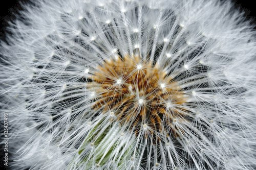 Dandelion with seeds on black