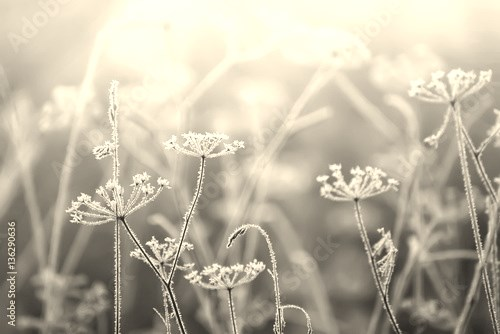 delicate dried flowers in the frost. Soft gentle morning light in the haze. Very soft focus.