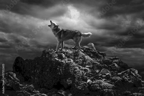 A lone wolf sings his song on top at night