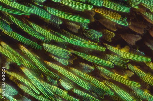 Butterfly wing under the microscope