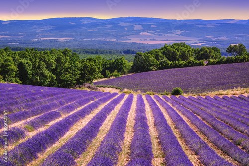 Blooming lavender fields in Provence, France