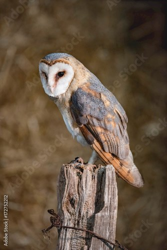 Barn owl (tyto alba) perched on wooden post.