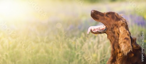 Panting Irish Setter dog in a hot Summer - web banner with copy space