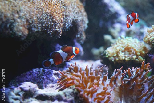 orange clown fish in the coral reef