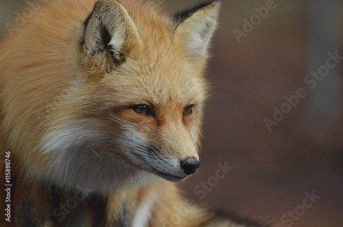 Crouching Red Fox