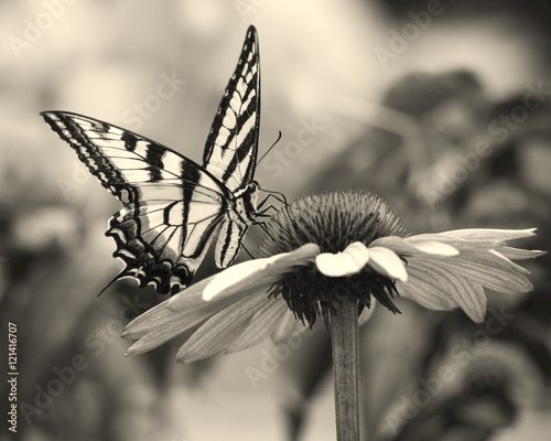 Tiger Swallowtail on Coneflower II