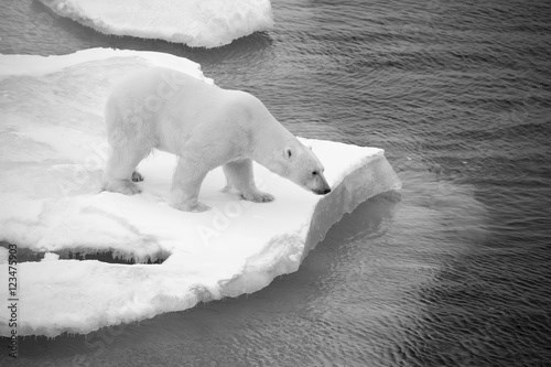 Polar bear walking on sea ice