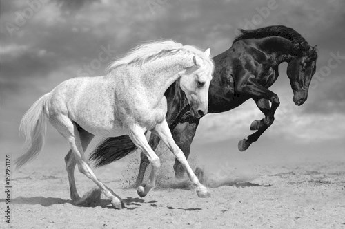 Black and white horses run in desert dust