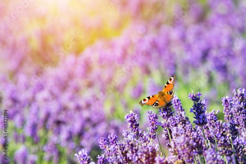 Butterfly sitting on lavender flower.