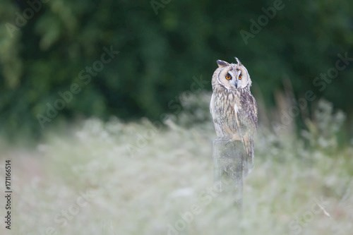 Long eared owl perched