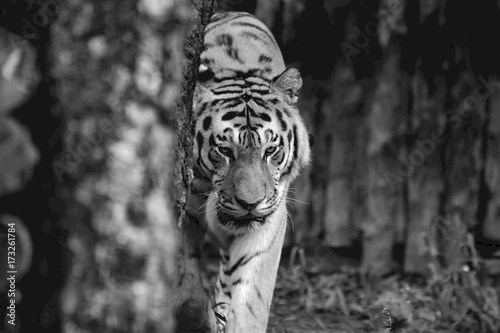 Amur tiger walking