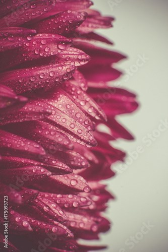 Petals of red chrysanthemum with dew drops