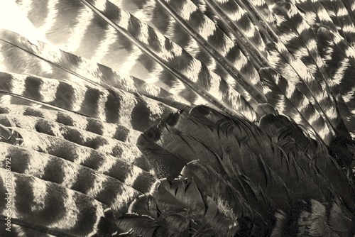 bird (turkey) wing with brown feathers closeup